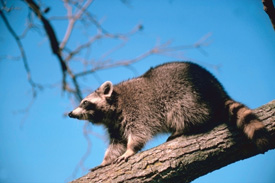 Raccoon on a tree limb