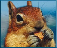 Keep squirrels out of siding and attics