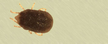 Image of a soft tick