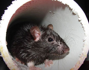 rat inside PVC piping