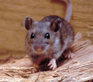 Images Of Rodents Rodents Cdc