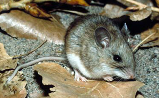 White-footed rat