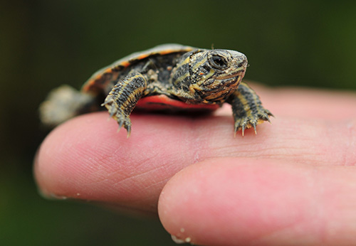Photo of a small turtle resting on a person's finger.