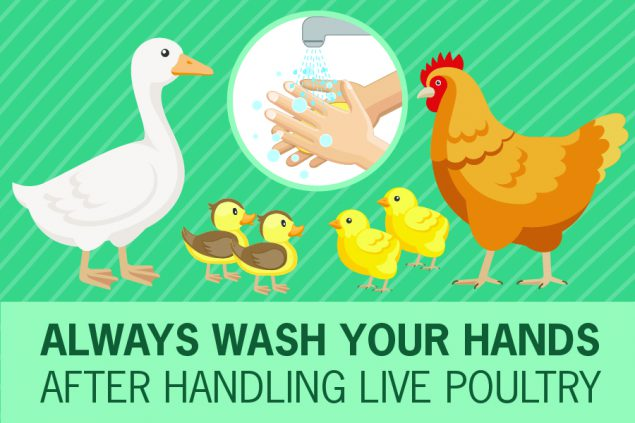 Illustration showing several chickens with text reading Always wash your hands after handling live poultry