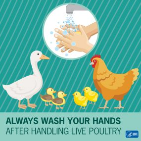 Infographic with baby chickens on it reading Always wash your hands after handling live poultry.