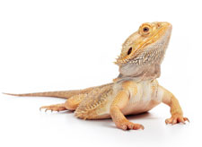 A bearded dragon, a type of lizard.