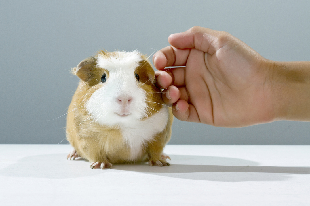 Photo of a guinea pig being pet by a person's hand.
