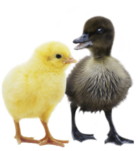Photo: Chick and Duckling