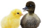 Image of baby chick and duckling