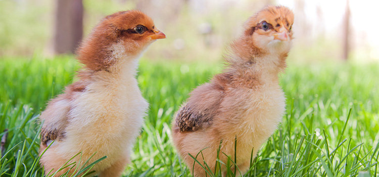 Photo of 2 chicks walking in grass.