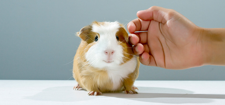 Multistate Outbreak of Salmonella Enteritidis Infections Linked to Pet Guinea Pigs