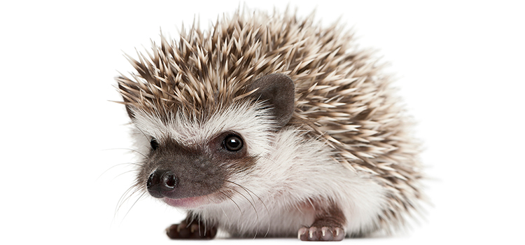 PHoto of a hedgehog on a white background.