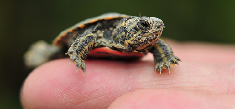 Photo of a small turtle on a person's finger.