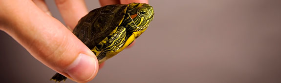 Human Salmonella Poona and Sandiego linked to small turtles
