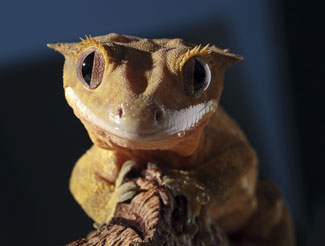 Image of a crested gecko.