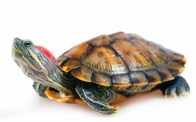 Photo of turtle.