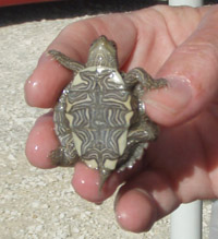 Image of a Small Turtle