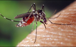 Photo: Mosquito