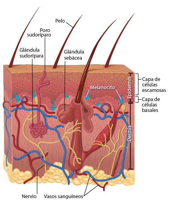 Carcinoma basocelular esperanza de vida
