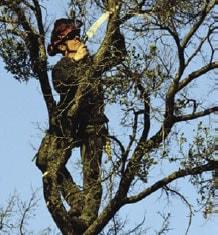 Fotografía de un trabajador en un árbol