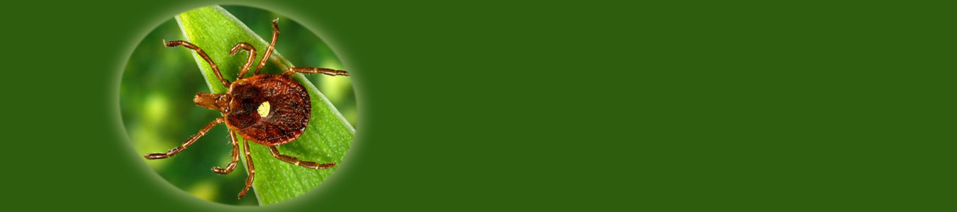 lone star tick on green background