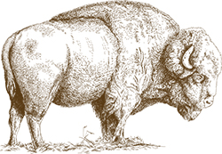 Engraved illustration of bison.