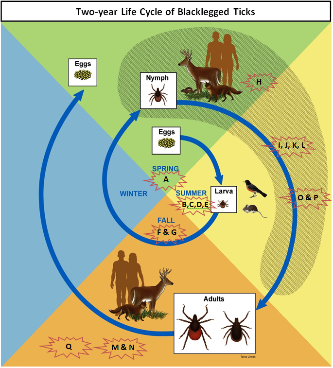 Tick Life Cycle and Study Activity Timeline