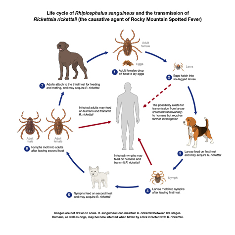 Image shows Rhipicephalus sanguineus at different life stages feeding on three canine hosts. The diagram shows potential pathways for Rickettsia rickettsii to transmit to a human host.