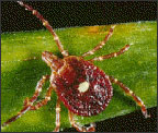 lone star tick on grass blade