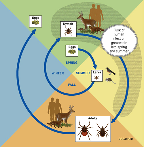 Graphic showing the life cycle of blacklegged ticks frfom eggs to larva to nymph to adult and back to eggs.