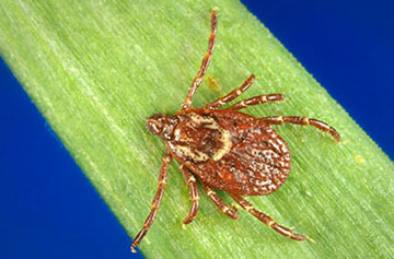 image of american dog tick