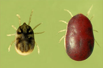 image of two soft ticks