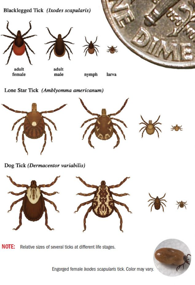 Graphic showing relative sizes of several ticks at different life stages.