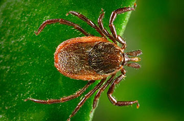 image of a western blacklegged tick