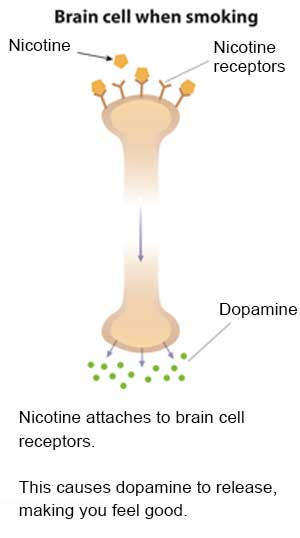 Slide 2 - Illustration of a brain cell when smoking showing nicotine, nicotine receptors and dopamine.  Nicotine attaches to brain cell receptors.  This causes dopamine to release, making you feel good.