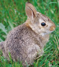 Cottontail rabbit (Sylvilagus spp.)