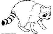 raccoon clipart Human rabies  Raccoon Clipart Black And White