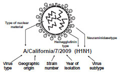 Influenza Virus diagram as described in Influenza virus section