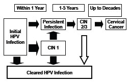Natural History of HPV Infection chart as described in the Pathogenesis section