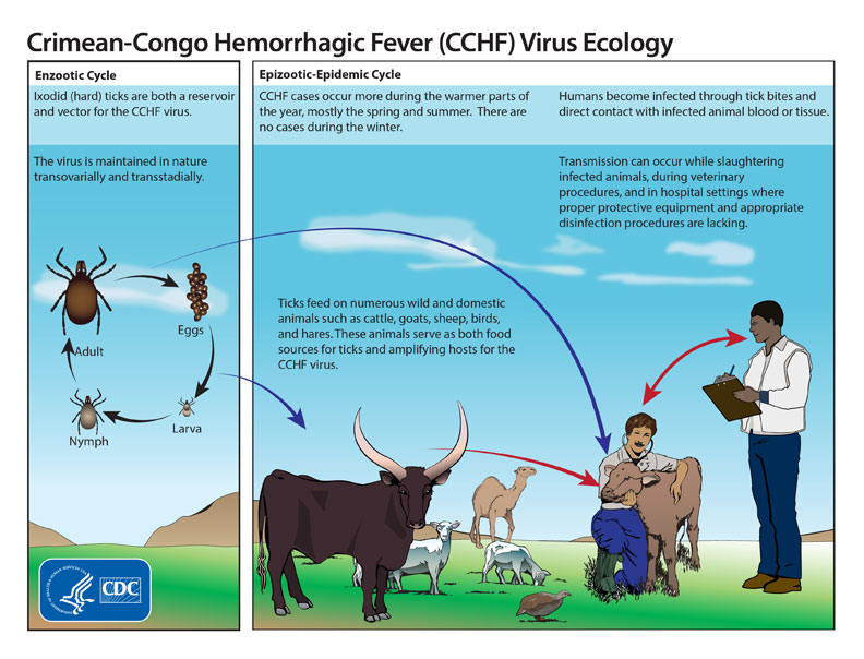 This graphic shows the life cycle of the Crimean-Congo hemorrhagic fever virus. Hard ticks are both a reservoir and vector for the CCHF virus. Humans become infected through tick bites and through direct contact with infected animal blood or tissue. The ticks feed on numerous wild and domestic animals, like cattle, goats, sheet and hares. Transmission of the virus can occur during slaughtering of infected animals, during veterinary procedures, and in hospital settings