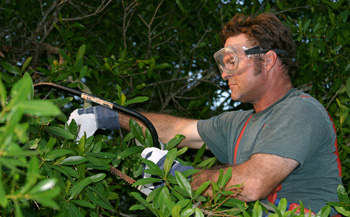 Photo: Man trimming shrubs