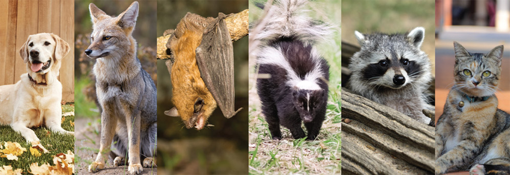 Collage of photos showing the following animals: dog, fox, bat, skunk, raccoon, and house cat.
