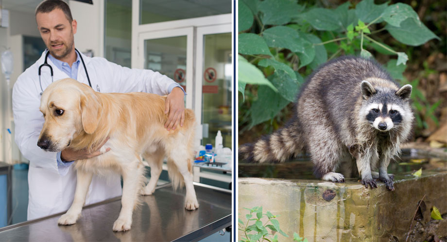 Images of a vet with a dog and a raccoon image