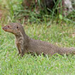 mongoose which can carry rabies in puerto rico