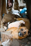 A street dog with her puppies, found in an alley in Addis Ababa, Ethiopia.
