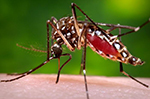 a female Aedes aegypti mosquito while in the process of acquiring a blood meal from her human host.