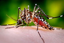 Aedes mosquito feeding on it's human host